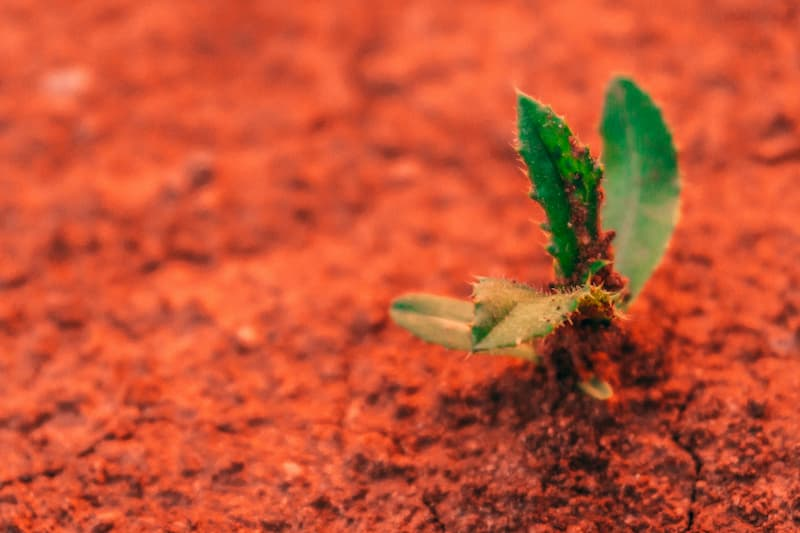 A plant growing in red soil